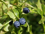 Bilberry (Vaccinium myrtillus)